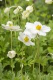 De witte bloemen van Anemone Sylvestris Ranunculaceae met een gele kern Mooie bloemen met gevoelige witte bloemblaadjes royalty-vrije stock afbeelding
