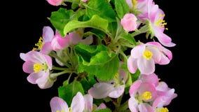 De witte bloemen van de appelboom stock videobeelden