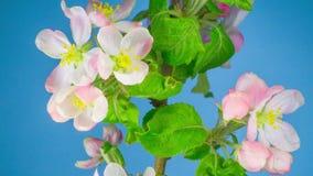De witte bloemen van de appelboom stock footage