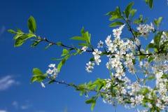 De witte Bloemen van de Kers Royalty-vrije Stock Afbeeldingen