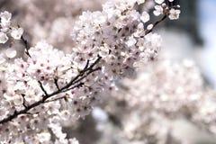 De witte bloemen van de kersenbloesem in de lente Royalty-vrije Stock Afbeeldingen