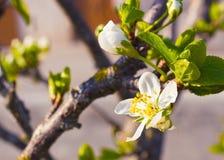 De witte bloemen van de kersenbloesem in lentetijd Royalty-vrije Stock Afbeeldingen