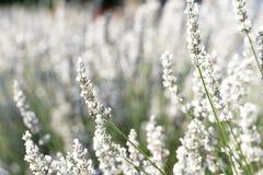De witte Bloemen van de Lavendel Stock Afbeelding