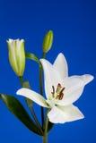 De witte Bloemen van de Lelie op Blauwe Achtergrond Royalty-vrije Stock Foto's