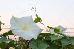 De witte bloemen van de ochtendglorie Royalty-vrije Stock Afbeeldingen