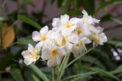 De witte bloemen van de pareloleander Stock Foto