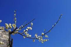 De witte bloemen van de pruimbloesem Stock Afbeeldingen