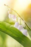 De witte bloemen van een boslelietje-van-dalen Stock Foto's