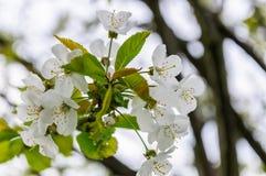 De witte bloemen van de kers komt op een de lentedag tot bloei in de tuin Royalty-vrije Stock Afbeelding