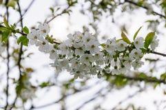 De witte bloemen van de kers komt op een de lentedag tot bloei in de tuin Stock Fotografie
