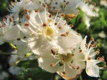 De witte bloemen van kersenhout in dalingen van ochtend bedauwen het spelen in de zon Macrofotografie van het wild De lente geluk royalty-vrije stock foto's