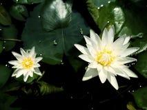 De witte bloemen van Lotus Stock Fotografie