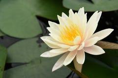 De witte bloemen van Lotus Stock Foto