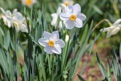 De witte bloemen van Narcissen Royalty-vrije Stock Afbeelding