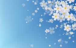 De witte bloemen van Plumeria of Frangipani-op blauwe kleurenachtergrond stock afbeelding