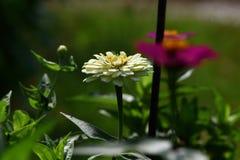 De witte bloemen zijn bloeiend in de bloemtuin stock foto's
