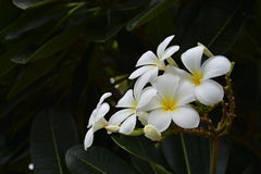 De witte bloesem genoemd plumeria Stock Afbeelding