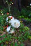 De Witte bloesem van de grasbloem Royalty-vrije Stock Afbeeldingen