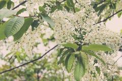 De witte bloesem van de kersenbloem Stock Afbeelding
