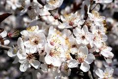 de witte bloesem van de lentebloemen op boomtak Royalty-vrije Stock Afbeeldingen