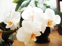 De witte bloesem van de orchidee Stock Afbeeldingen