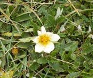 De witte bloesem van een christen nam bloem in de winter toe royalty-vrije stock fotografie