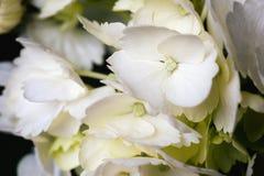 De witte Bloesem van de Hydrangea hortensiabloem en Bloemblaadjesclose-up Een artsy foto die vrouwelijk, zacht en dromerig is royalty-vrije stock afbeeldingen