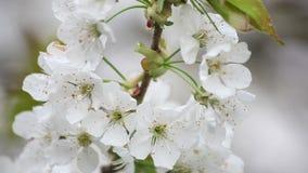 De witte bloesem van de kersenboom stock videobeelden