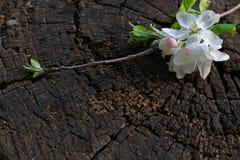 De witte bloesem van de de lentekers op bruine rustieke houten lijst De lentebloemen op uitstekende achtergrond met plaats voor t royalty-vrije stock afbeeldingen