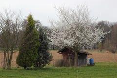 De witte bloesems van de appelboom Stock Afbeeldingen