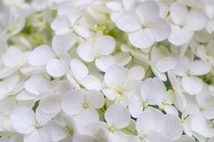 De witte bloesems van hydrangea hortensiapaniculata Royalty-vrije Stock Afbeelding