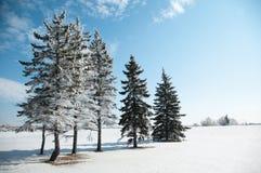 De witte Bomen van de Winter Stock Afbeeldingen
