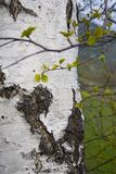 De witte boom van de Berk Stock Afbeeldingen