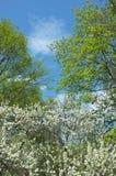 De witte boom van de bloesemappel Stock Fotografie