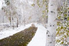 De witte boomstam van de berkboom stock foto's