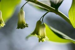 De witte bosbloemen van Polygonatumodoratum in bloei, de lente wilde bloeiende installatie stock foto's