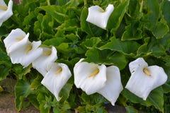 De witte calla bloem van de lelietuin van de Aracae-familie Royalty-vrije Stock Afbeelding