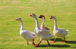 De witte Chinese ganzen dringen op voedsel aan Stock Fotografie