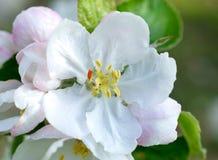 De witte close-up van de appelboom met Royalty-vrije Stock Afbeeldingen