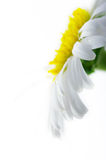 De witte close-up van de kamillebloem Stock Afbeelding