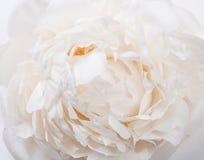 De witte close-up van pioenbloemblaadjes, het macroschot van de zomerbloemen Natuurlijk t Stock Foto