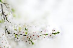De witte de lentebloemen op een boom vertakken zich Royalty-vrije Stock Foto's