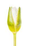 De witte die bloem van de lotusbloemknop op witte achtergrond (waterlelie) wordt geïsoleerd Stock Foto