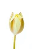 De witte die bloem van de lotusbloemknop op witte achtergrond (waterlelie) wordt geïsoleerd Stock Afbeeldingen