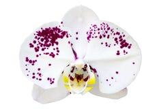 De witte die bloem van de phalaenopsisorchidee op wit wordt geïsoleerd Stock Foto's
