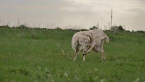 De witte die geit aan kabel wordt gebonden weidt op groen gazon en kijkt rond en in camera stock videobeelden