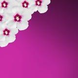 De witte die hibiscusbloemen, Hibiscus rosa-sinensis, hibiscus Chinees, als roze malve wordt bekend, mauve textuurachtergrond, sl royalty-vrije stock afbeeldingen