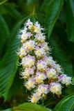 De witte die kastanje bloeit close-up wordt gefotografeerd tegen royalty-vrije stock afbeeldingen