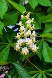 De witte die kastanje bloeit close-up wordt gefotografeerd tegen royalty-vrije stock fotografie