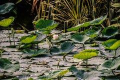 De witte die lotusbloembloem stelt in vijver open met bladeren wordt behandeld Stock Afbeeldingen